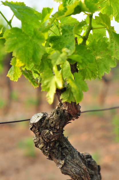 Cep de vigne